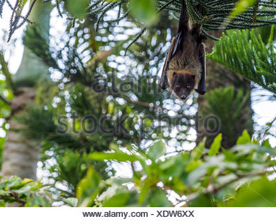 Low Angle Portrait Of Fruit Bat Hanging From Tree - Stock Photo