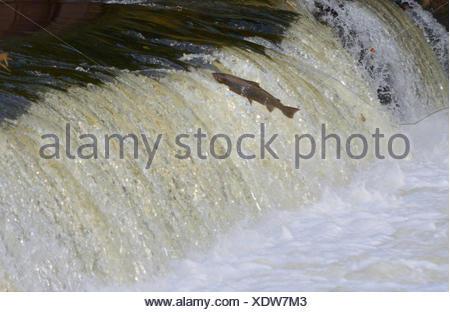 Atlantic salmon, ouananiche, lake Atlantic salmon, landlocked salmon, Sebago salmon (Salmo salar), salmon jumping over a weir at the River Sieg, Germany, North Rhine-Westphalia, Buisdorf - Stock Photo