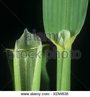 Wild oat, Avena fatua, leaf ligule of an agricultural grass weed - Stock Photo