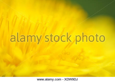 common dandelion (Taraxacum officinale), macro shot of flowers, Germany - Stock Photo