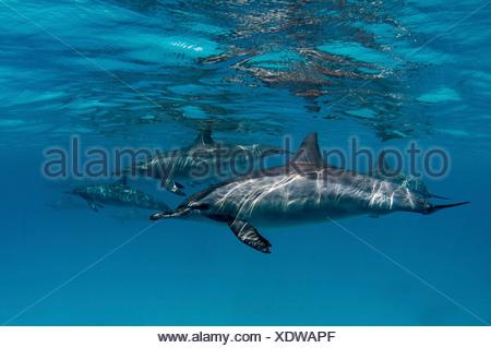 A common dolphin near to the surface, Egypt (Delphinus delphis) - Stock Photo