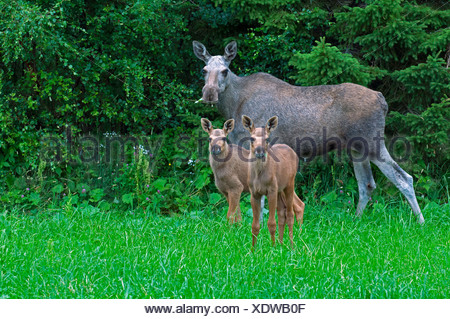 elk, European moose (Alces alces alces), cow elk standing with her two calf elks in front of a bush and feeding, Norway - Stock Photo