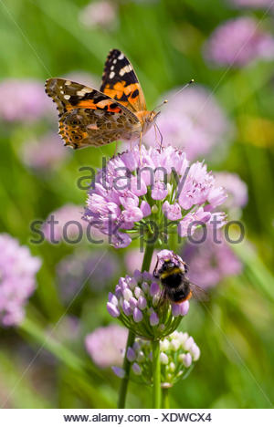 painted lady, thistle (Cynthia cardui, Vanessa cardui), inflorescence eith painted lady, Germany - Stock Photo