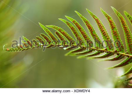 Polypodium glycyrrhiza, licorice fern, manyfooted fern, sweet root, evergreen fern,  British Columbia, Vancouver Island, Sooke, - Stock Photo