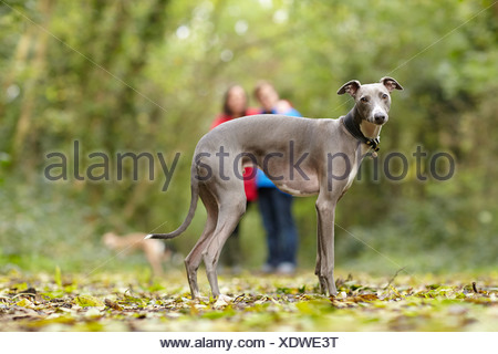 Portrait of whippet and its owners in woods - Stock Photo