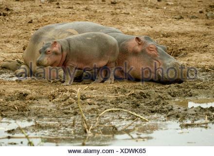 hippopotamus, hippo, Common hippopotamus (Hippopotamus amphibius), mother and child resting  at the Kazinga Channel, Uganda - Stock Photo