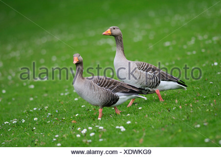 Pair of Greylag Geese (Anser anser) on a meadow - Stock Photo