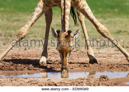 Southern Giraffe (Giraffa giraffa) female drinking from a rainwater pool - Stock Photo