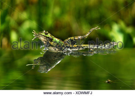 European edible frog, common edible frog (Rana kl. esculenta, Rana esculenta, Pelophylax esculentus), jumping into water, Germany - Stock Photo