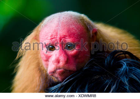 The bright red face of a Bald Uakari resting on the head of an Amazonian Indian. - Stock Photo