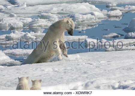 Female Polar bear Ursus maritimus hunting ringed seal Pusa hispida or phoca hispida and accompanied by two cubs Svalbard - Stock Photo
