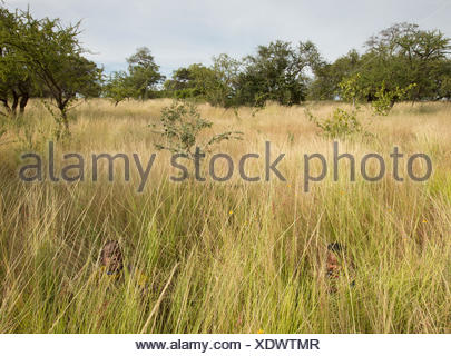 Hadza children playing hide and seek in the high grass. - Stock Photo