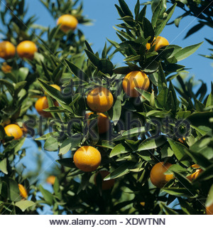 Clementine (Citrus reticulata) fruit on the trees near Valencia, Spain - Stock Photo