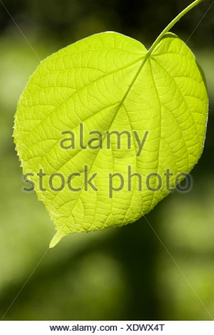 large-leaved lime, lime tree (Tilia platyphyllos), leaf in backlight, Germany - Stock Photo