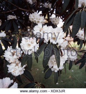 Groups of white flowers on a Rhododendron falconeri bush in Devon - Stock Photo