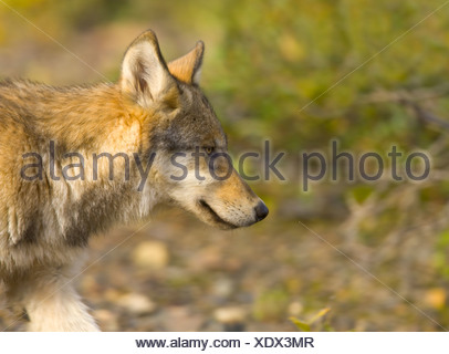 Young gray wolf pup, Canis lupus, walking alone in tundra. - Stock Photo
