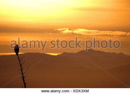 A silhouette of a Bald Eagle at sunset perched  on a spruce tree snag with the Kenai Mountains in the background, Alaska - Stock Photo