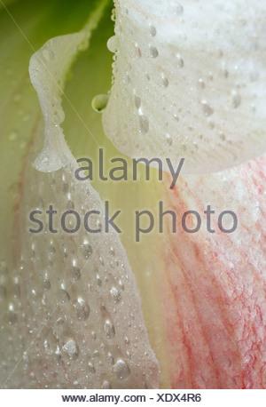 AMARYLLIS petal & drops - Stock Photo