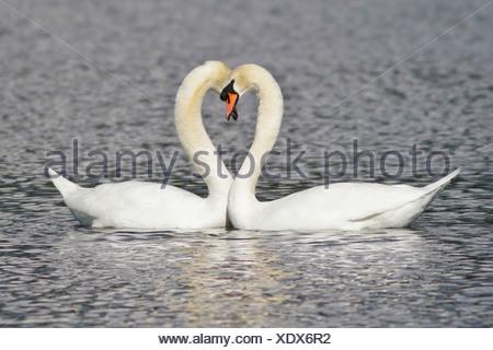 Mute Swan (Cygnus olor) swimming in a pond near Victoria, BC, Canada. - Stock Photo