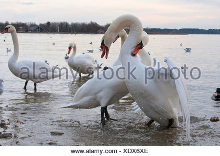 mute swan (Cygnus olor), two males fighting in shallow water, Germany, Bavaria, Chiemsee - Stock Photo