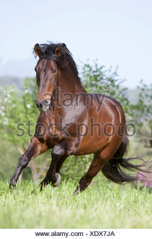 Pure Spanish-bred horse, Andalusian, Bay horse galloping on a meadow - Stock Photo