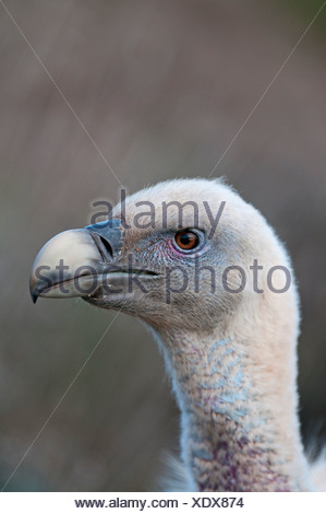 Griffon Vulture Gyps fulvus Catalonian Pyrenees Spain winter - Stock Photo