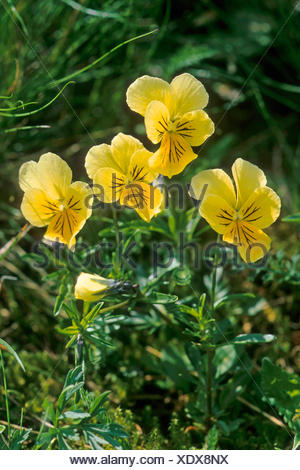 mountain pansy (Viola lutea), blooming, France - Stock Photo