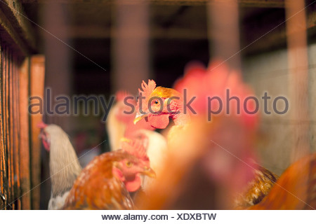 Battery hens - Stock Photo