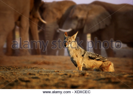 Black backed jackal with elephants at waterhole Savute Botswana - Stock Photo
