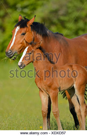 Hanoverian horse, German warmblood (Equus przewalskii f. caballus), mare with foal in a meadow, Germany - Stock Photo