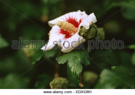 shrubby althaea, rose-of-Sharon (Hibiscus syriacus 'Red Heart', Hibiscus syriacus Red Heart), flower - Stock Photo