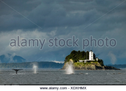 Humpback Whales blowing and diving and Five Fingers Lighthouse Petersberg Alaska - Stock Photo