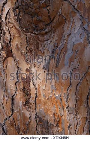 Pinus nigra, Bark of the European Black Pine, Pine - Stock Photo