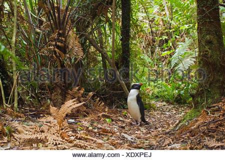 Fiordland Penguin in rainforest - Stock Photo