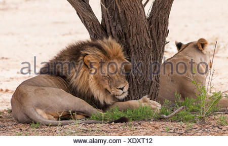 Lion and lioness lying by a tree, Botswana - Stock Photo
