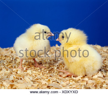 HY-LINE WHITE LEGHORN LAYER CHICK/1 DAY OLD LAYER CHICK STUDIO - Stock Photo