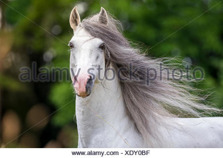 Lusitano. Portrait of gray stallion with mane flowing. Germany - Stock Photo