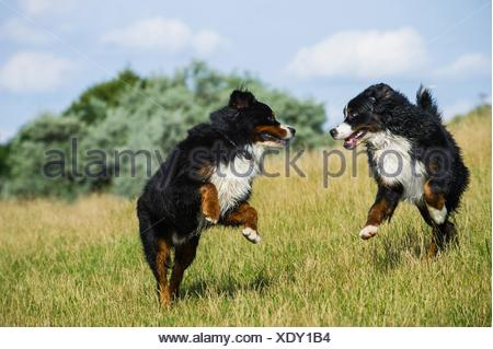 2 Bernese Mountain Dogs - Stock Photo