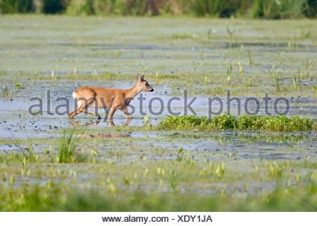 roe, biotop, capreolinae, capreolus, capreolus capreolus, cervidae, ricke, - Stock Photo