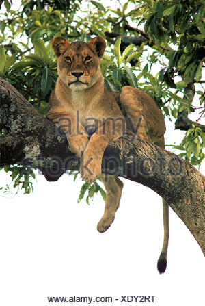 Tree climbing lioness resting on branch in Fig tree FICUS Masai Mara National Reserve Kenya East Africa - Stock Photo