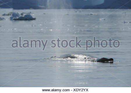 humpback whale (Megaptera novaeangliae), blowing, Greenland, Ilulissat, Disko Bay - Stock Photo