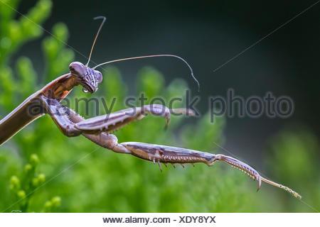 A praying mantis, Mantis religiosa, hunting, in an evergreen bush. - Stock Photo