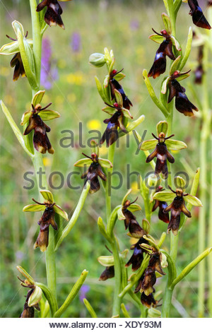 fly orchid (Ophrys insectifera), blooming, Germany, Rhineland-Palatinate, Eifel - Stock Photo