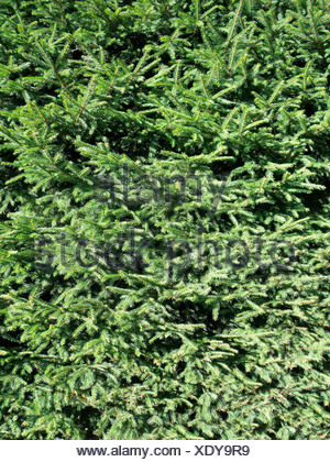 Structure of a area from a spruce hedge - Stock Photo