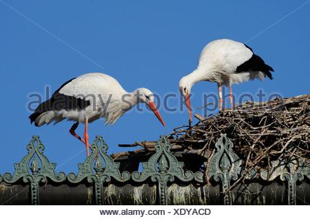 Pair of white storks (ciconia ciconia) - Stock Photo