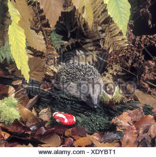 Hedgehog - Erinaceus europaeus - Stock Photo