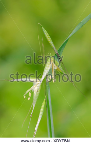 Animated Oat or Sterile Oat (Avena sterilis), flowers, Provence, Southern France, France - Stock Photo