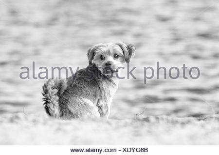 Norfolk Terrier, sitting by the water, Berlin - Stock Photo