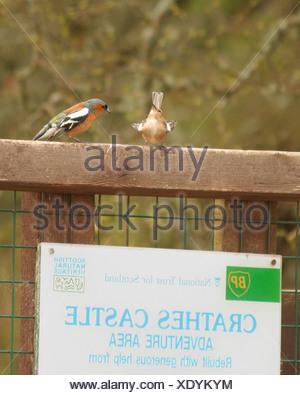 Male chaffinch (Fringilla coelebs) tries to impress the female. - Stock Photo