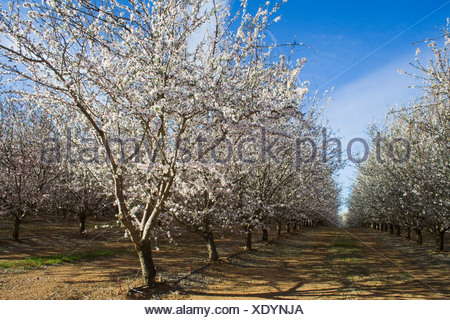 Agriculture - Almond orchard in full bloom in late Winter / Glenn County, California, USA. - Stock Photo